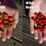 Rose hips labeled