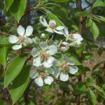 pear blossums